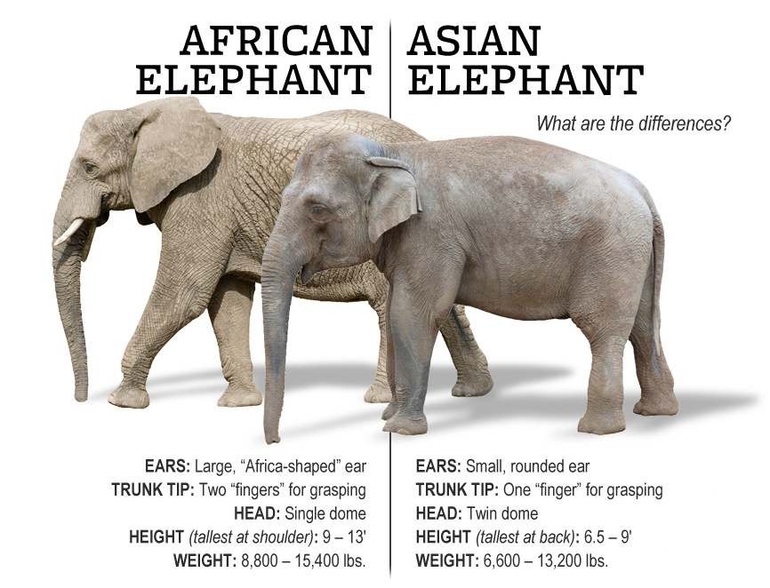 Comparative Anatomy The African Elefund